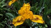 Ирисы в наших садах - Страница 41 27005486_s