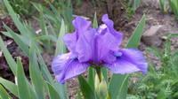 Ирисы в наших садах - Страница 41 27005518_s