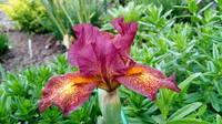 Ирисы в наших садах - Страница 41 27005559_s