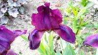 Ирисы в наших садах - Страница 41 27005560_s