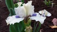 Ирисы в наших садах - Страница 41 27005697_s