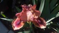 Ирисы в наших садах - Страница 41 27005771_s