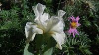 Ирисы в наших садах - Страница 41 27005774_s