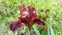 Ирисы в наших садах - Страница 41 27005825_s