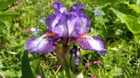 Ирисы в наших садах - Страница 41 27005826_s