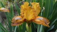 Ирисы в наших садах - Страница 41 27005827_s