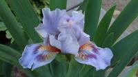 Ирисы в наших садах - Страница 41 27005875_s