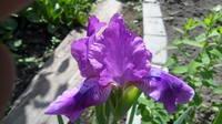 Ирисы в наших садах - Страница 41 27006003_s