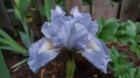 Ирисы в наших садах - Страница 41 27006028_s