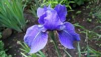 Ирисы в наших садах - Страница 42 27243000_s