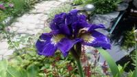 Ирисы в наших садах - Страница 42 27243024_s