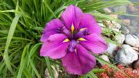 Ирисы в наших садах - Страница 42 27243343_s