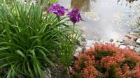 Ирисы в наших садах - Страница 42 27243403_s