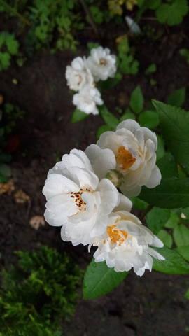 Розы цветут - Страница 23 27770052_m