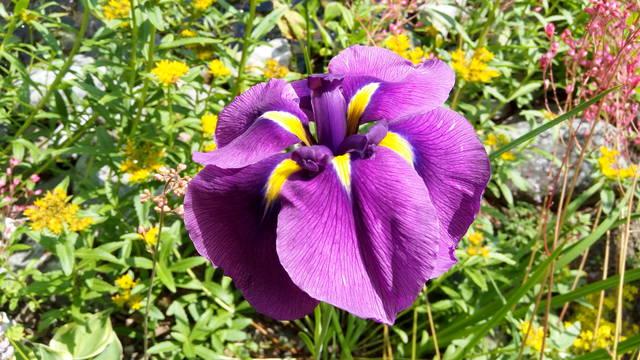Ирисы в наших садах - Страница 42 31084445_m
