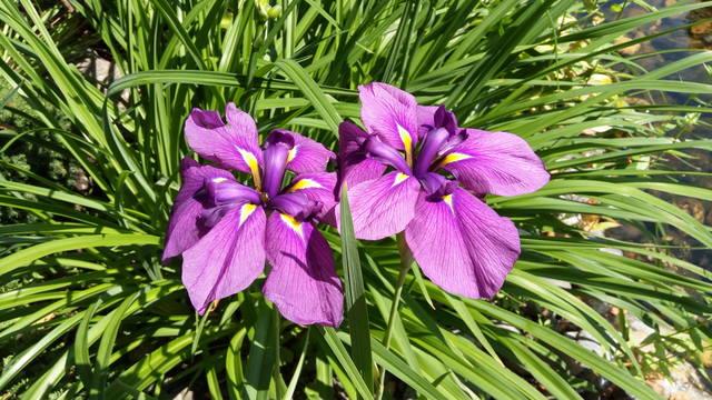 Ирисы в наших садах - Страница 42 31084530_m
