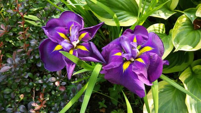 Ирисы в наших садах - Страница 42 31084606_m