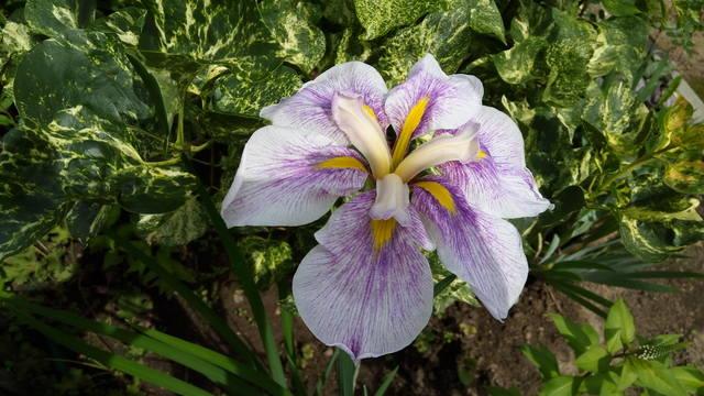 Ирисы в наших садах - Страница 42 31084700_m