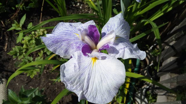 Ирисы в наших садах - Страница 42 31084729_m