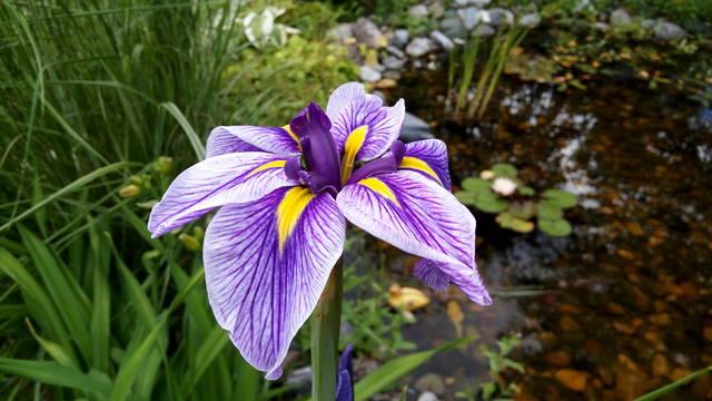 Ирисы в наших садах - Страница 42 31084796_m