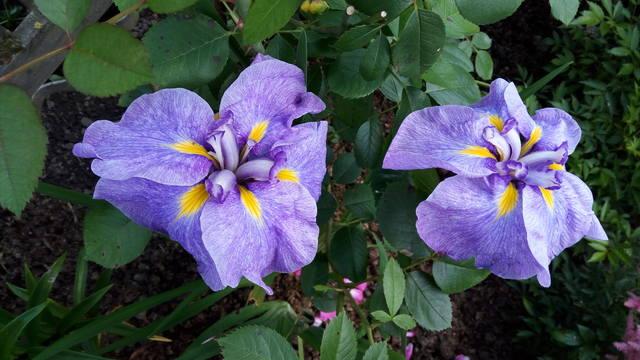 Ирисы в наших садах - Страница 42 31148183_m