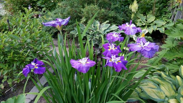Ирисы в наших садах - Страница 42 31148187_m