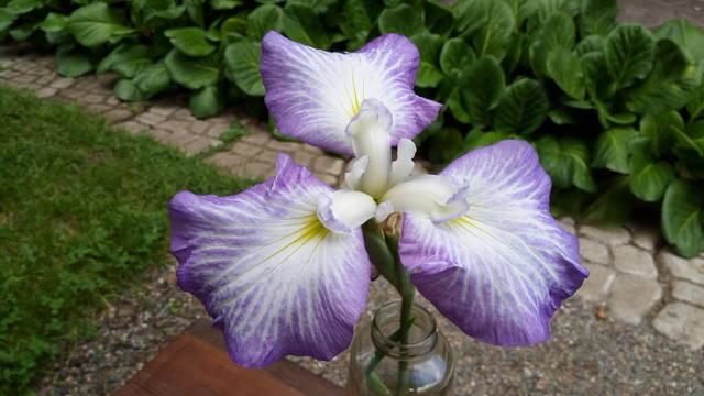 Ирисы в наших садах - Страница 42 31148222_m