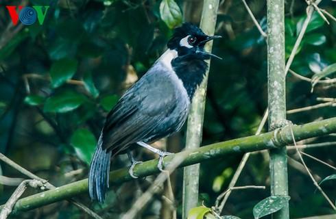 Ảnh những loài chim đẹp, quý hiếm của Việt Nam Black_hooded_laughingthrush_lyjf