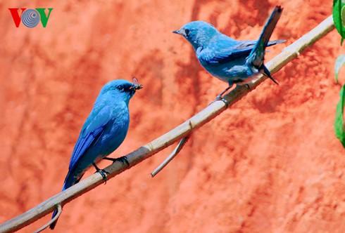 Ảnh những loài chim đẹp, quý hiếm của Việt Nam Chim_11__bfzm
