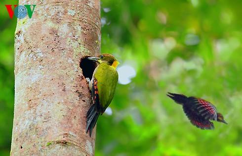 Ảnh những loài chim đẹp, quý hiếm của Việt Nam Chim_13__bbvc