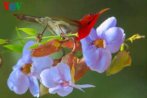 Ảnh những loài chim đẹp, quý hiếm của Việt Nam Chim_14__nuup