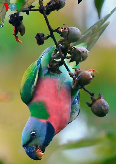 Ảnh những loài chim đẹp, quý hiếm của Việt Nam Chim_15__eblp
