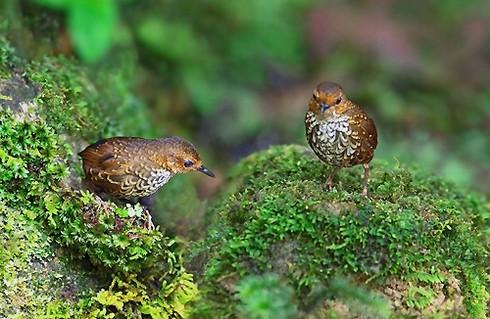 Ảnh những loài chim đẹp, quý hiếm của Việt Nam Chim_16__grgm