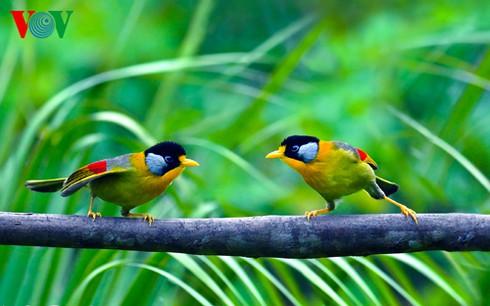 Ảnh những loài chim đẹp, quý hiếm của Việt Nam Chim_17__bitc