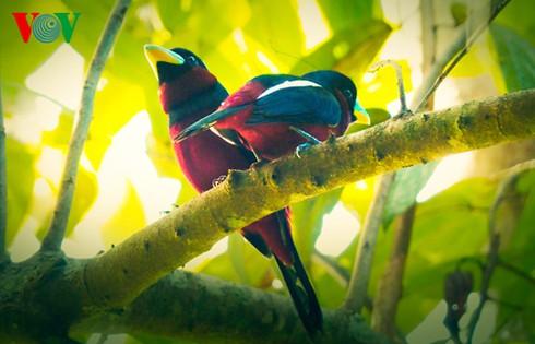 Ảnh những loài chim đẹp, quý hiếm của Việt Nam Chim_18__jiyd