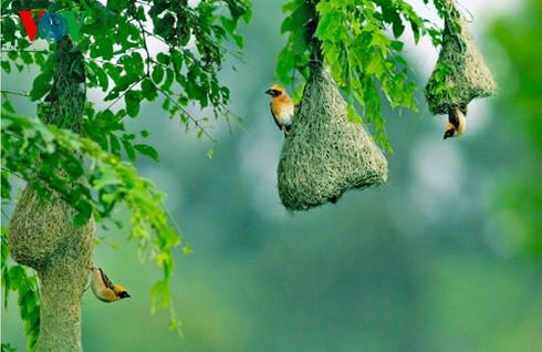Ảnh những loài chim đẹp, quý hiếm của Việt Nam Chim_20__htxg