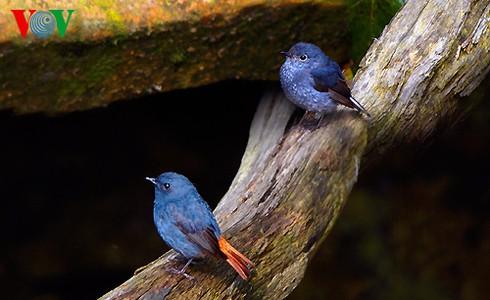 Ảnh những loài chim đẹp, quý hiếm của Việt Nam Chim_2__ascj
