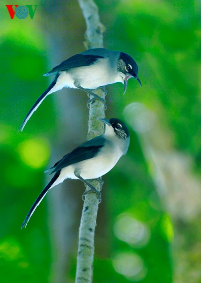 Ảnh những loài chim đẹp, quý hiếm của Việt Nam Chim_3__jtvf
