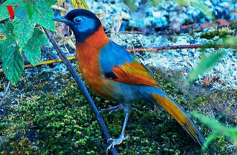 Ảnh những loài chim đẹp, quý hiếm của Việt Nam Chim_4__cile