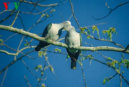 Ảnh những loài chim đẹp, quý hiếm của Việt Nam Chim_5__bilo