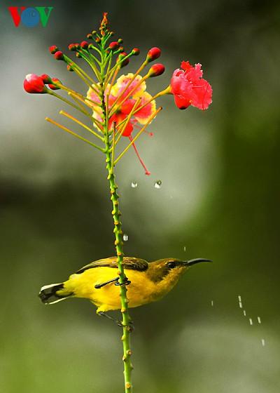 Ảnh những loài chim đẹp, quý hiếm của Việt Nam Chim_6__lgfw