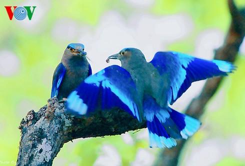 Ảnh những loài chim đẹp, quý hiếm của Việt Nam Chim_9__layc