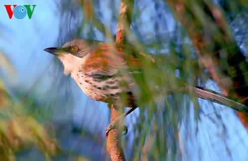 Ảnh những loài chim đẹp, quý hiếm của Việt Nam Chim_vn_3__ifkm