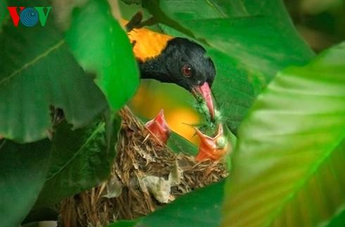 Ảnh những loài chim đẹp, quý hiếm của Việt Nam Va_enjb