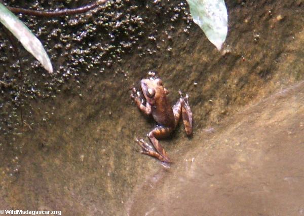 Žabe Isalo_frog0197