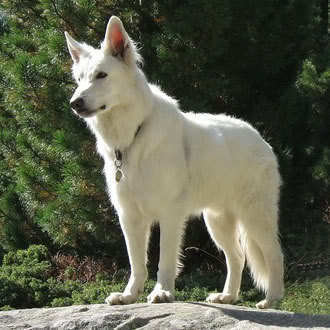 Le petit nouveau vous dit bonjour American-Whites-american-white-shepherds-10885614-330-330
