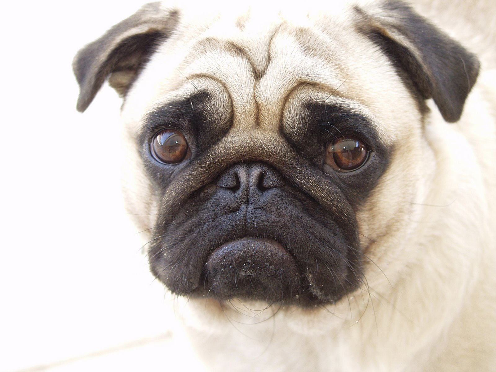 Suggestion Beautiful-Pug-pugs-13728088-1600-1200