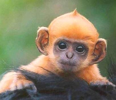 Bestiario de Personajes Orange-baby-monkey-monkeys-2816930-408-352