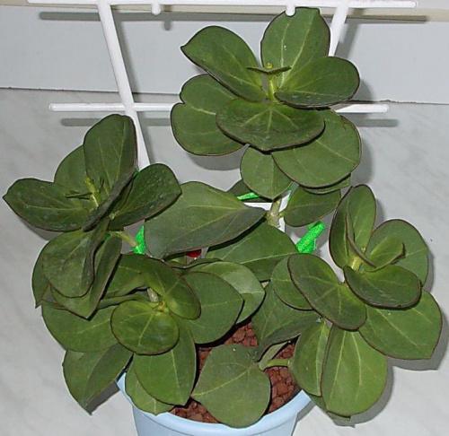 Hoya pachyclada blüht 44b113ef920e0fd6med