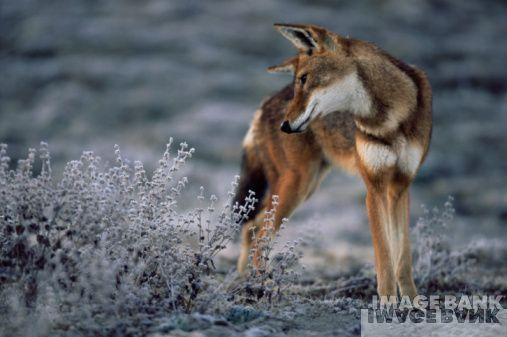 Carnívoros Família Canidae. Canis simensis- Lobo da Etiópia Ethiopian-Wolves-wolves-17840067-507-337